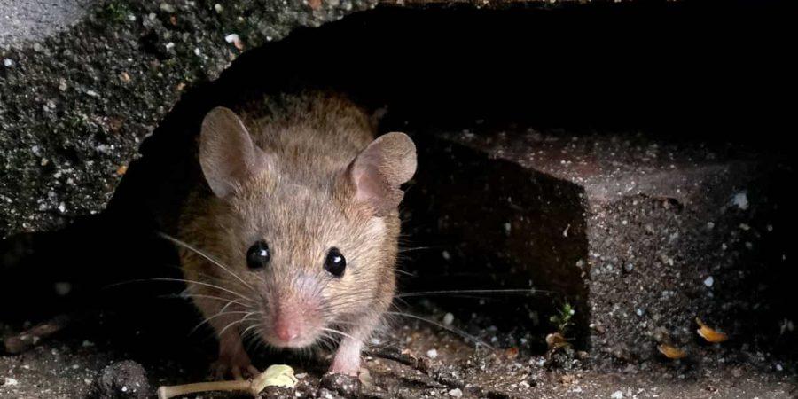 problème de rats